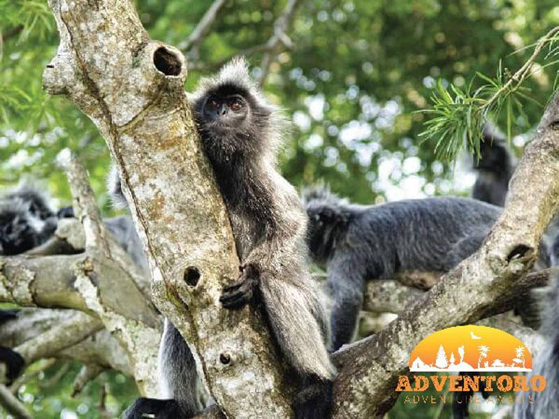 Silver Leafed Monkey copy - kuala selangor - Explore Asia, YOEXPLORE