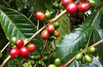 Bali Kintamani Coffee tour - YOEXPLORE