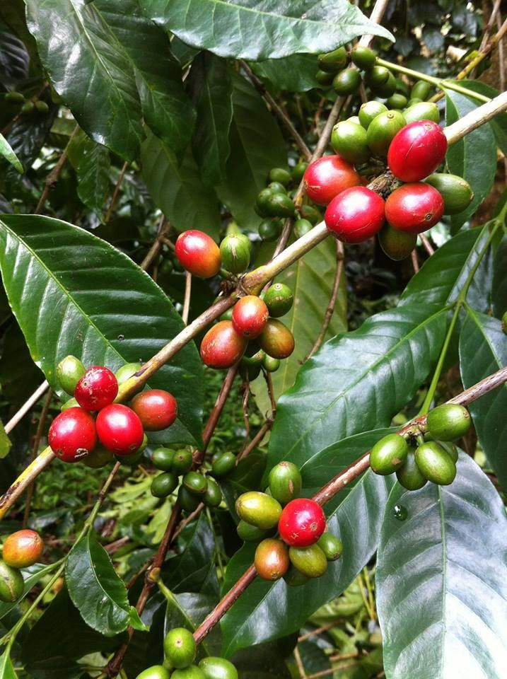 Bali Kintamani Coffee tour-Yoexplore