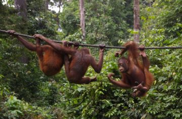 Explore Indonesia - Borneo Orangutans Tour, Central Kalimantan, Indonesia 2D1N
