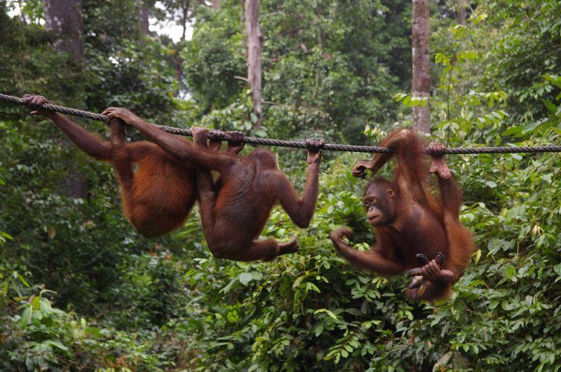 YOEXPLORE_Orangutan2