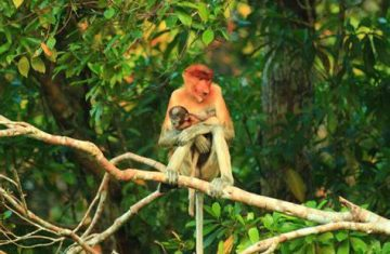 Explore Indonesia - Borneo Orangutans Tour, Central Kalimantan, Indonesia I 3D2N